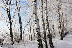 Birch winter alley. Two rows of the trees Royalty Free Stock Photography