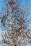 Birch in winter. Betula alba, pubescens. Royalty Free Stock Photography