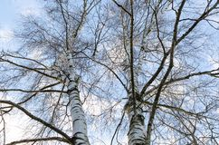 Birch at winter. Royalty Free Stock Images