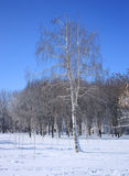 Birch in winter forest Royalty Free Stock Images