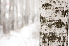 Birch in winter forest Royalty Free Stock Photos
