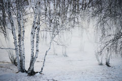 Birch in winter Stock Photos