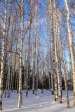 Birch winter forest snow Stock Images