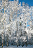 Birch winter forest in sunny weather Stock Photos