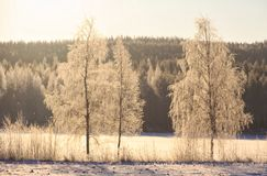 Birch Winter Outdoors Snow Forest Stock Photography