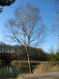Birch in winter. Near the pond Royalty Free Stock Photos