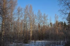Birch Winter Landscape Outdoors Nature Beautiful Stock Images