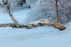 Birch in winter park stock photo