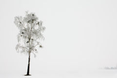 Birch in a winter season Stock Image