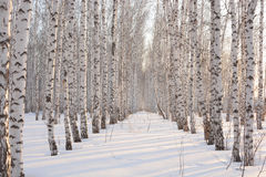 Birch in winter at sunset Stock Photo