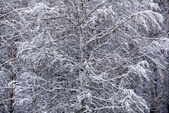 Birch winter Royalty Free Stock Photography