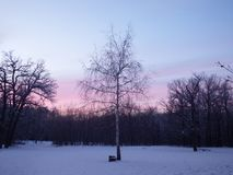 Lonely birch in the wood at sunset Royalty Free Stock Photography