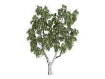 Birch_ (Witte berk) Royalty-vrije Stock Afbeelding
