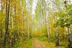 Birch wood Stock Photos