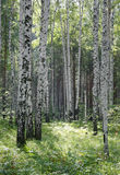 Birch wood 2 Stock Photos