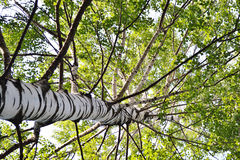 Birch wood. The photo of Russian summer birch wood Royalty Free Stock Photos