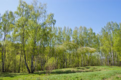 Birch wood. The first greens in spring birch wood filled in with the sun royalty free stock photo