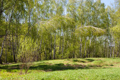 Birch wood. The first greens in spring birch wood filled in with the sun royalty free stock image