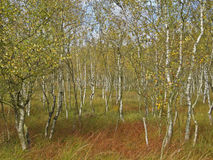 Birch wood. A beautiful birch forest in a moor in autumn Royalty Free Stock Photos