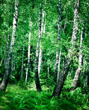 Birch wood royalty free stock images