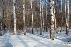 Birch wood Royalty Free Stock Image