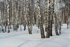 Birch wood. Royalty Free Stock Photos