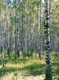 Birch Wood Royalty Free Stock Image