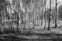 Birch wood by autumn. Beautiful autumn wood at solar day with white birch Stock Photography
