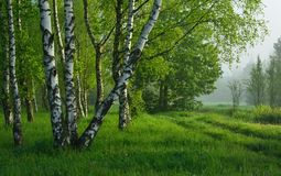 Birch wood. This is birch wood in Caucasus nature in morning Stock Images