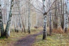 Birch wood Stock Photography