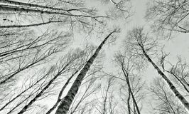 Birch wood forest. A forest of birch trees looking up to the sky Royalty Free Stock Image