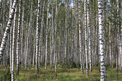 Birch wood forest Stock Image