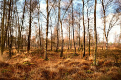 Birch-wood forest in autumn Royalty Free Stock Photos