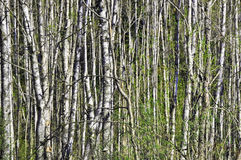 Birch wood forest Royalty Free Stock Images