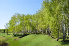 Birch wood on a hill. Birch wood on the hill covered with a grass Royalty Free Stock Images