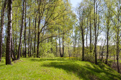 Birch wood on a hill. Birch wood on the hill covered with a grass Royalty Free Stock Image