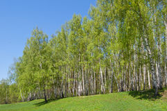 Birch wood on a hill. Birch wood on the hill covered with a grass Royalty Free Stock Photography