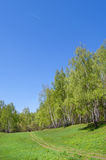 Birch wood on a hill. Birch wood on the hill covered with a grass Royalty Free Stock Photos