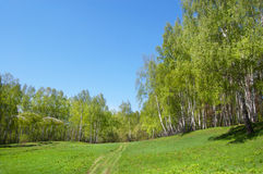 Birch wood on a hill. Birch wood on the hill covered with a grass stock photos