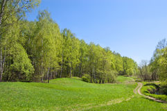 Birch wood on a hill Royalty Free Stock Image