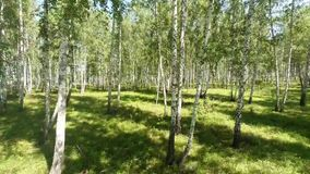 Birch wood inside. Aerial shot. Royalty Free Stock Photography