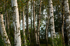 Birch wood in late summer. And evening time Stock Photography