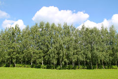 Birch wood Stock Photography