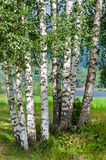 Birch wood - Norway forests Royalty Free Stock Image