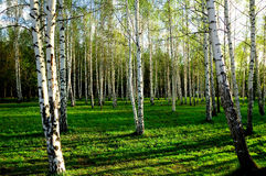 Birch wood in Russia. Birch forest with long shadows Royalty Free Stock Photos