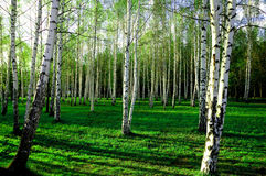 Birch wood in Russia Royalty Free Stock Photography
