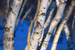 The birch wood Royalty Free Stock Image
