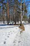Birch wood in solar spring day. Wet snow path in spring birch wood Royalty Free Stock Images