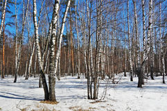 Birch wood in solar spring day. Wet snow in spring birch wood stock image