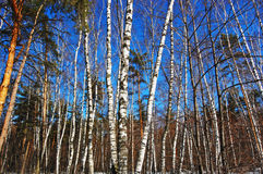 Birch wood in solar spring day. Trunks of trees against the dark blue sky stock photo